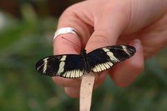 Het houden van een vlinder Royalty-vrije Stock Fotografie