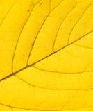Het houden van groot geel blad Stock Afbeeldingen