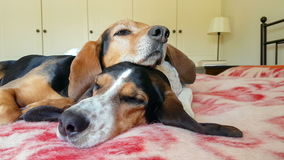 Het houden van ogenblik van twee honden die bovenop elkaar slapen Een grappig ogenblik stock footage