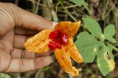 Het houden van Open Cerasee-Fruit royalty-vrije stock fotografie
