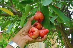 Het houden van rijpe djamboevrucht op de boom van Th e Royalty-vrije Stock Fotografie