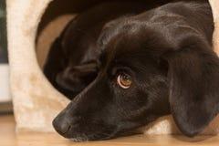Het houden van starende blik van een zwarte hond Stock Afbeelding