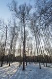 Het hout van de de winterochtend Stock Afbeeldingen