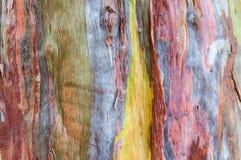 Het hout van de dwarsdoorsnedeeucalyptus Stock Foto