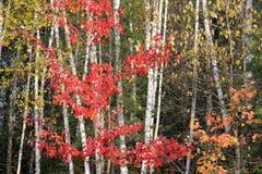 Het hout van de herfst Royalty-vrije Stock Foto