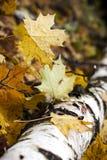 Het hout van de herfst, esdoornboom Stock Foto