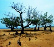 Het hout van de mangrove Royalty-vrije Stock Foto