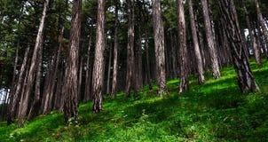 Het hout van de pijnboom Stock Foto