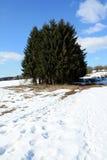 Het hout van de pijnboom in de winter Royalty-vrije Stock Afbeelding