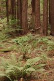 Muir Woods Royalty-vrije Stock Foto