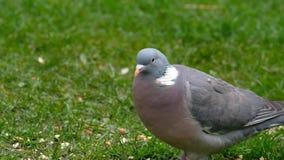 Het houten duif voeden stock footage