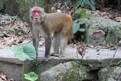 Het huilen Macaque royalty-vrije stock fotografie