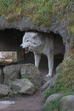 Het huilen van de wolf. royalty-vrije stock afbeeldingen