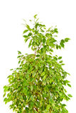 Het huilen van Fig. (Ficus Benjamina) Royalty-vrije Stock Afbeelding
