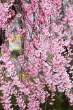 Het huilen van kers komt bij Funaoka-het Park van de Kasteelruïne, Shibata, Miyagi, Tohoku, Japan in de lente tot bloei Royalty-vrije Stock Foto's