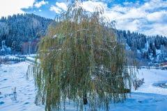 Het huilen van wilg in de reis van de winterbergen Stock Afbeelding