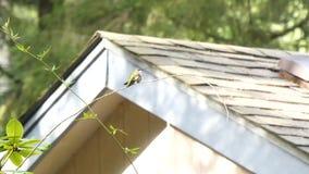 Het huis met dak zit achter kleine kolibrie op tak stock videobeelden