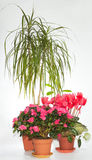 Het huis plant groep (azalea, Dracaena, Cyclaam) Stock Foto's