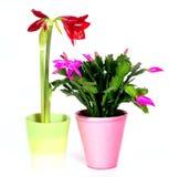 Het Huis van de amaryllis plant bloemen royalty-vrije stock afbeeldingen
