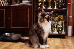 Het huisdier, Maine Coon is de kampioen van kat toont royalty-vrije stock foto