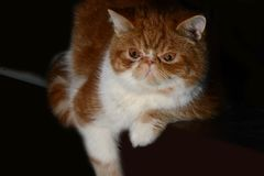 Het huisdier van de Garfieldkat Stock Afbeelding