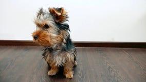 Het huisdier van de de terriërhond van Yorkshire zit binnen op de vloer wat schat Vooraanzicht van een levensstijl Terrier van Yo stock videobeelden