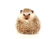 Het huisdier van Nice Bruine Egel Royalty-vrije Stock Afbeelding