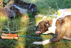 Het huisdierenhond van het bokserras het spelen in dag van de water de hete zomer Stock Foto