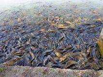 Het huisdierenvissen van het Mansarmeer royalty-vrije stock fotografie