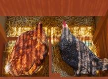 Het het huisnest van het kippengevogelte met 2 kippen broedt uit stock foto