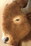 Het Humeur van buffels stock foto