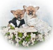 Het Huwelijk van het Puppy van Corgi stock afbeelding