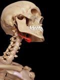 Het hyoid been stock afbeelding