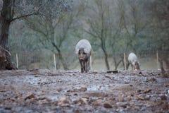 Het Iberische varkens eten Royalty-vrije Stock Afbeeldingen
