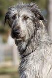 Het Ierse Portret van de Wolfshond Stock Afbeeldingen