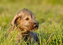 Het Ierse Puppy van de Wolfshond Stock Afbeeldingen