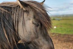 Het Ijslandse paard is een ras van paard dat in IJsland wordt ontwikkeld royalty-vrije stock foto