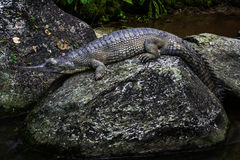 Het Indische krokodille rusten op rots royalty-vrije stock afbeelding