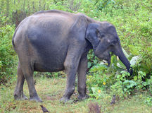Het Indische olifant eten Stock Afbeeldingen