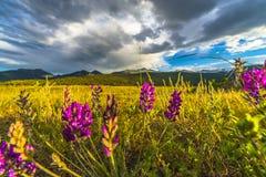 Het Indische Penseel bloeit het Landschap van Colorado Stock Foto