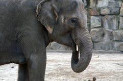 Het Indische portret van de olifant stock foto's