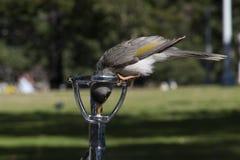 Het inheemse lawaaierige mijnwerkersvogel drinken van waterwasfles in openbaar park stock foto