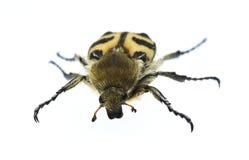 Het insect Stock Foto's
