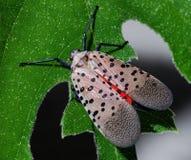 Het insect dat zal vliegen Stock Afbeelding