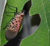 Het insect dat zal vliegen Stock Foto