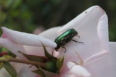 Het insect en nam toe Royalty-vrije Stock Fotografie