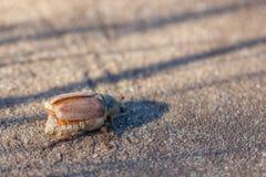 Het insect kan kever die ter plaatse kruipen stock foto