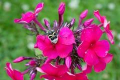 Het insect met kleurrijke vleugels bloeit rode Flox Royalty-vrije Stock Foto's
