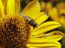 Het insect op de bloeiwijze Stock Fotografie
