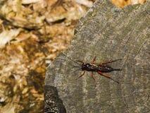 Het insect van Capsid Stock Foto's